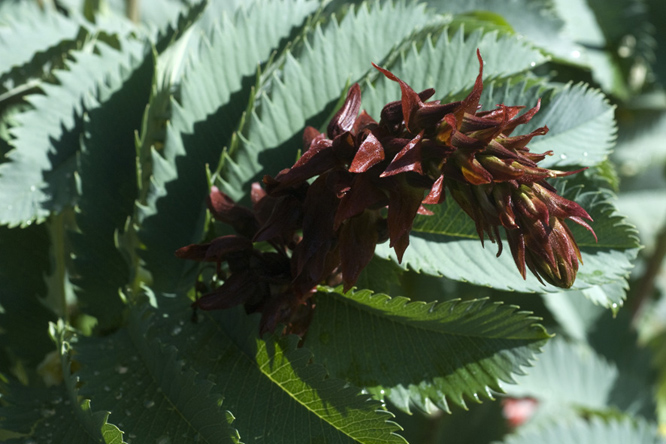 Melianthus major 3 au Jardin de la Salamandre